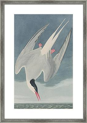 Arctic Tern Framed Print by John James Audubon