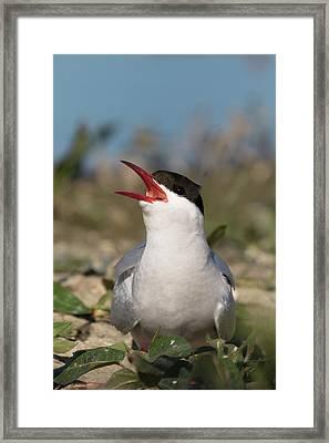 Framed Print featuring the photograph Arctic Tern - St John's Pool, Scotland by Karen Van Der Zijden