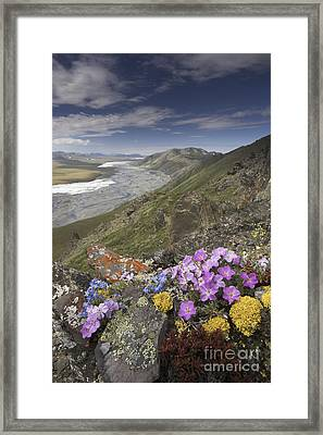 Arctic Wildflowers, Alaska Framed Print