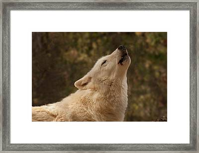Framed Print featuring the photograph Arctic Wolf Howling by Chris Flees
