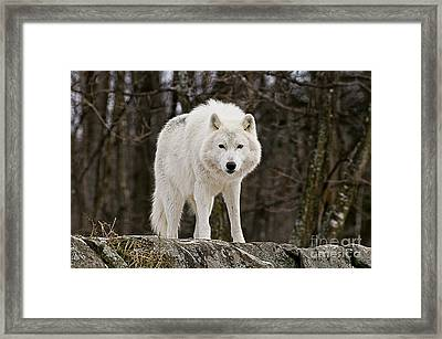 Arctic Wolf On Hill Framed Print