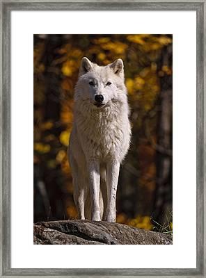 Arctic Wolf On Rocks Framed Print by Michael Cummings