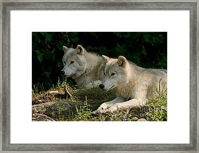 Arctic Wolf Pictures 1268 Framed Print