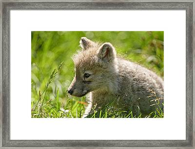 Arctic Wolf Pup In Grass Framed Print by Michael Cummings