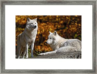 Framed Print featuring the photograph Arctic Wolves On Rocks by Michael Cummings