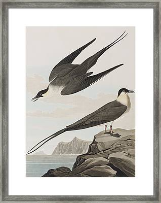 Arctic Yager Framed Print by John James Audubon