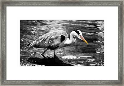 Ardea Cinerea - Grey Heron Framed Print