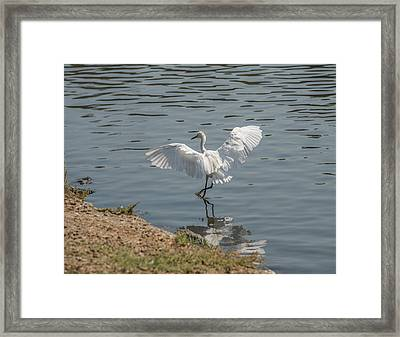 Are You Ready To Dance - Great Egret In Mtn View Ca Framed Print