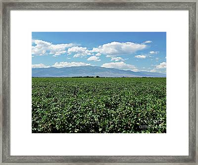 Arizona Cotton Field Framed Print by Methune Hively