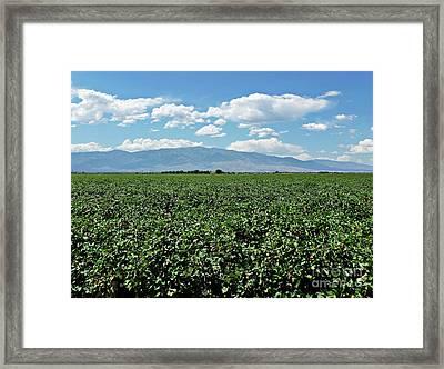 Arizona Cotton Field Framed Print