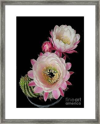 Arizona Desert Cactus Flowers Framed Print