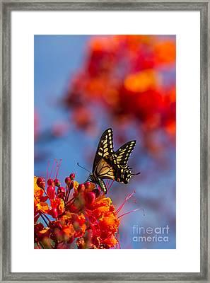 Arizona Swallowtail Framed Print by Tracey Hunnewell