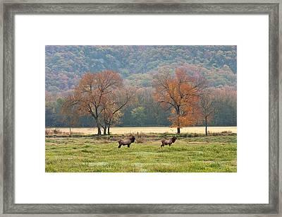 Arkansas Elk - 7802 Framed Print