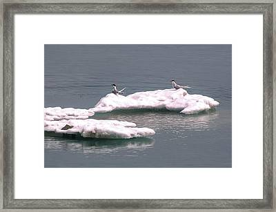 Arctic Terns On A Bergy Bit Framed Print