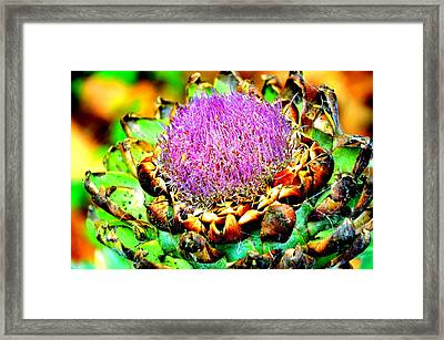 Artichoke Going To Seed  Framed Print by Antonia Citrino