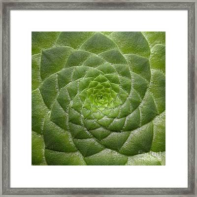 Artistic Nature Green Aeonium Cactus Macro Photo 203 Framed Print