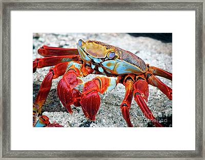 Artistic Nature Red And Blue Rainbow Crab 908 Framed Print