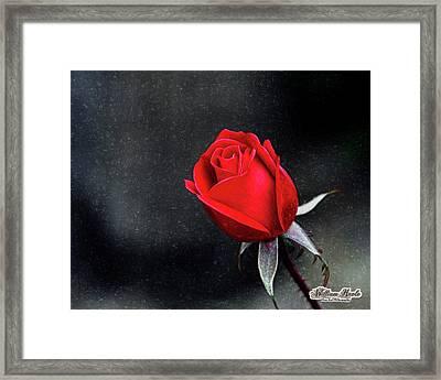 Artists Red Rose Framed Print