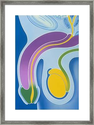 Artwork Of Male Genitalia (penis & Testes) Framed Print by John Bavosi