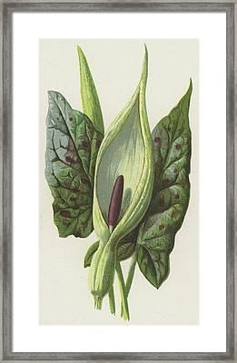 Arum, Cuckoo Pint Framed Print