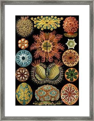 Ascidiae Framed Print by Ernst Haeckel