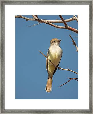 Ash Throated Flycatcher Framed Print by Loree Johnson