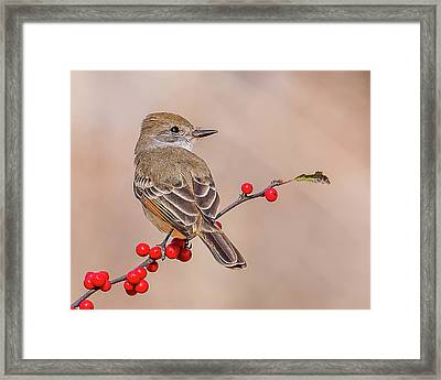 Ash-throated Flycatcher On A Branch Framed Print