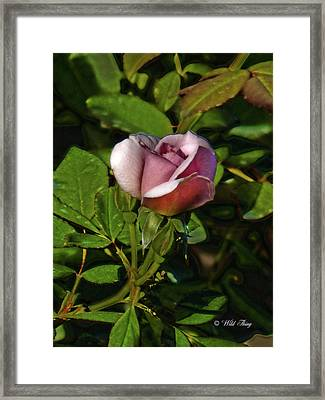 Ashley Rose Framed Print