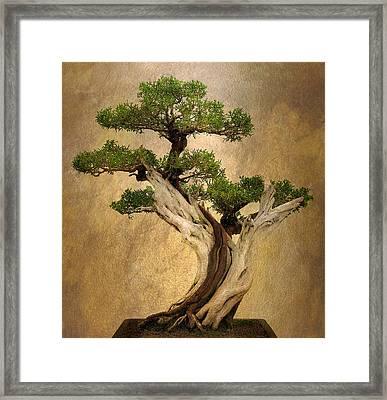 Asian Bonsai Framed Print by Jessica Jenney