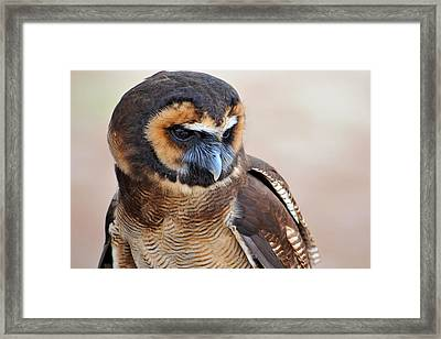 Asian Brown Wood Owl Framed Print by Alan Lenk
