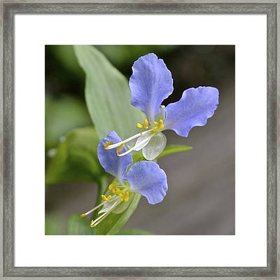 Virginia Dayflower Pair Framed Print