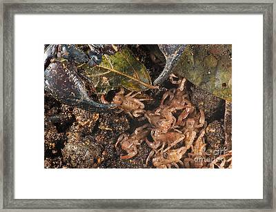 Asian Scorpion With Young Framed Print