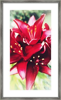 Asiatic Lilies Framed Print