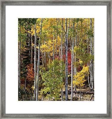 Aspen And Red Maple Framed Print