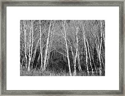 Aspen Forest Black And White Print Framed Print