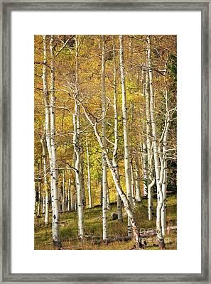 Aspen Forest Framed Print
