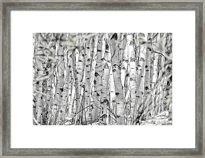 Aspen Forest Iv Framed Print