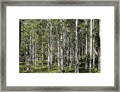 Aspen Forest Framed Print by Jon Rossiter