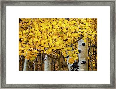 Aspen Gold Framed Print