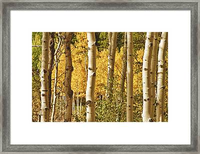 Aspen Gold Framed Print by James BO  Insogna