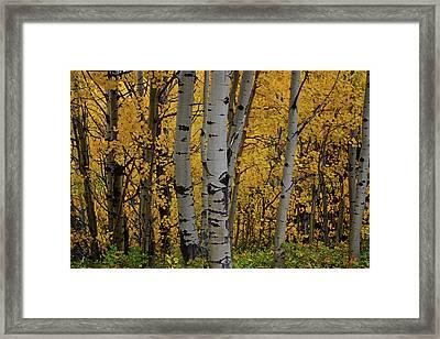 Aspen Golden Framed Print