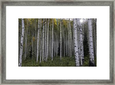 Colorado Aspens Framed Print by Thomas Schoeller