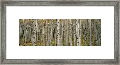 Aspen Grove In Fall, Kebler Pass Framed Print by Ron Watts