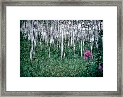 Aspen Grove Framed Print
