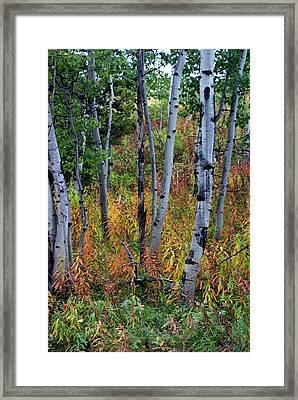 Aspen In Fall Framed Print by Marty Koch