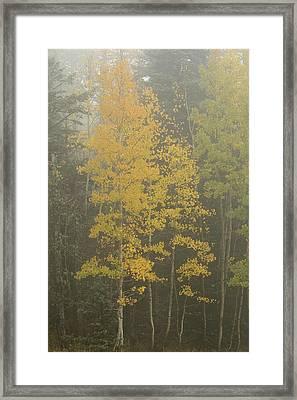 Aspen In The Fog Framed Print