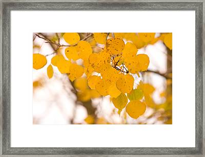 Aspen Leaves Framed Print by James BO  Insogna