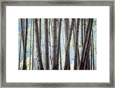 Aspen On The Edge Of Bear Creek Framed Print