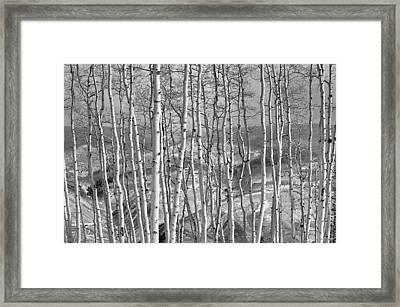 Aspen Stand In Black And White Framed Print by Kevin Munro
