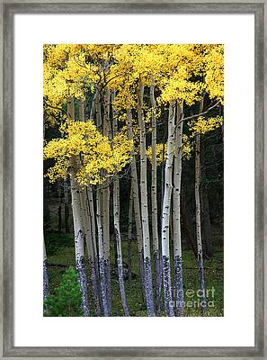 Aspen Stand Framed Print by Timothy Johnson